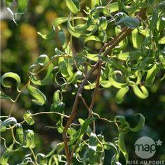 Salix matsudana ' Tortuosa ' : touffe ctr 5 litres