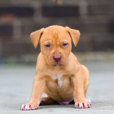 Red Nose Pitbull Puppies For Sale Red Pitbull, Red Nose Pitbull Puppies, Pitbull Terrier Puppies, Pitbull Puppies For Sale, Cute Puppies, Baby Animals Pictures, Cute Baby Animals, Funny Animals, Baby Pitbulls For Sale