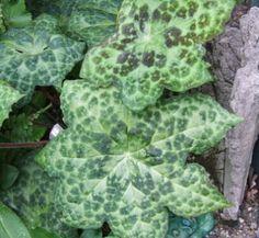 Podophyllum 'Spotty Dotty' 1