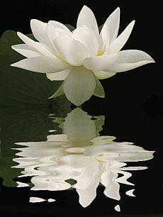 Lotus Flower by Bahman Farzad   donna forgue приколол(а) это к доске floral