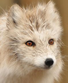 beautiful-wildlife:  Portrait Of An Artic Fox by Natally
