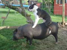Funny Boston Terrier Dog Riding a Pet Pig