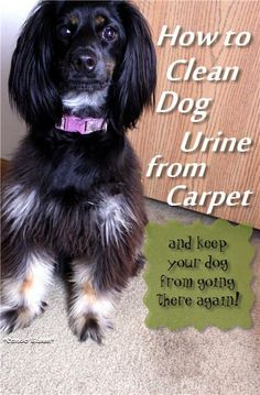How to clean dog urine from carpet and how to keep your dog from peeing on that spot again