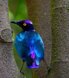 :^African starling.  Look, they have RAT birds in Africa too...