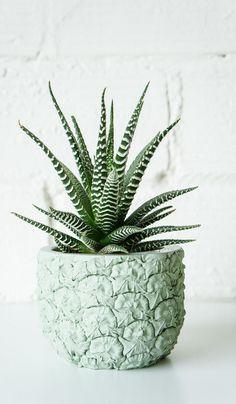 zebra cactus in pineapple planter