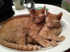 Sisters Sleeping In A Sink - http://cutecatshq.com/cats/sisters-sleeping-in-a-sink/