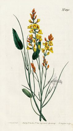 Viminaria Denudata from Historical botanical drawings of Australian plants