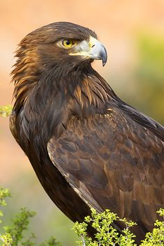 birds of a feather — golden eagle (photo by grguy) Types Of Eagles, The Eagles, Pretty Birds, Beautiful Birds, Animals Beautiful, Beautiful Pictures, All Birds, Birds Of Prey, Animals And Pets