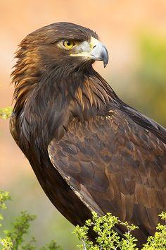 fairy-wren:  golden eagle (photo by grguy)