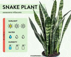 the snake plant is an extremely easy, low maintenance houseplant. it's one of the best indoor plants that are easy to keep alive Indoor Plant Lights, Indoor Plants Low Light, Plant Lighting, Best Indoor Plants, Cactus House Plants, House Plants Decor, Plant Decor, Cactus Decor, Cactus Art