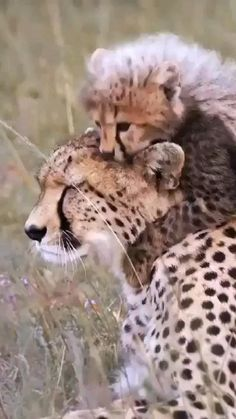 Cute Funny Animals, Cute Baby Animals, Cute Cats, Baby Wild Animals, Big Cats, Cats And Kittens, Wild Tiger, Fuzzy Wuzzy, Rare Animals
