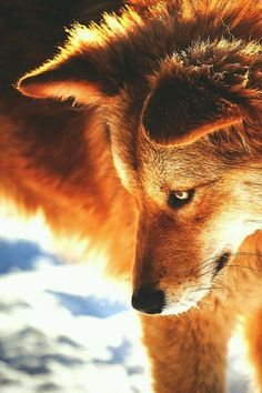 Name: Red Feather. Gender: Female. Mate/Pups: None. Lives: Shadow Wolf Pack. Loves to Do: Hunt. Rank: Warrior. Apprentice: None. (Role Player: @Crazyrockerwolf.)