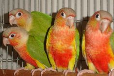 Pineapple Conure - I am getting one of these when I get my new job