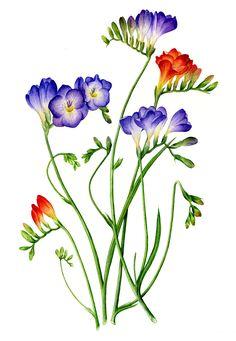 freezia paintings | Botanical Art Journal
