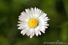White lonely daisy in the green grass