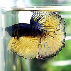 Betta-Male-Fancy-Blue-Mustard-Gas-Butterfly-Halfmoon