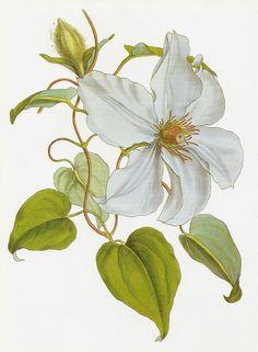 Clematis lanuginosa - circa 1852