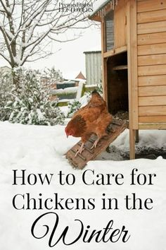 How to Care for Chickens in the Winter- Winter is creeping in! Take these extra measures to keep your chickens safe and warm through the cold months ahead.