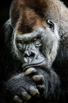 Western Lowland Gorilla II by Abeselom Zerit on Silverback male Nature Animals, Animals And Pets, Funny Animals, Cute Animals, Strange Animals, Beautiful Creatures, Animals Beautiful, Regard Animal, Western Lowland Gorilla