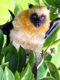 Roussette de Mayotte/ Roussette Bat