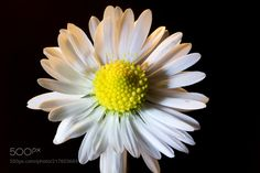 Daisy in direct sunshine - Delicate daisy in direct darkness