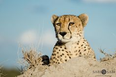A male cheetah gave us an amazing display of his beauty in the last few minutes before sunset.