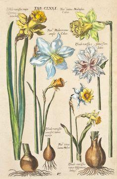 Michael Valentini - Viridarium Reformatum, seu Regnum Vegetabile: Krauter Buch (Newly Revised Garden of the Plant Kingdom: Herb Book), 1719 - Tab. CLXXI: Pseudo narcissus major Hypanicus totus lute, Nar luteus Multiplici Calice, Nar Medeocroceus amplo Calice, Pseudo-narcissus pleno flore luteo, Pseudo-narcissus junctifol luteus minor, Nar totus luteus Medias, Pseudo-narcissus minor Hispanicus luteus.