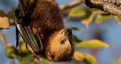 The Mauritius fruit bats (aka flying foxes) play a key role in their ecosystem as pollinators and seed dispersers – and now they're in grave danger. Each night, hundreds of these bats are being killed, until the government eliminates up to 18,000! Bat experts across the world need your help to halt this horrendous act from …