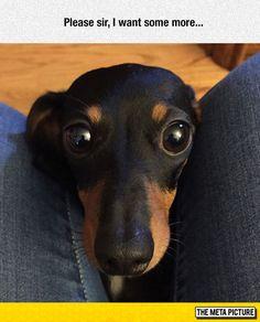 Long Haired Dachshund Cute sausage dog wants Dachshund Breed, Dachshund Funny, Long Haired Dachshund, Dachshund Love, Daschund, Cute Puppies, Cute Dogs, Weenie Dogs, Doggies