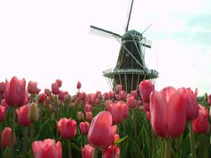 <b>Holland, Lower Peninsula</b></br> Grand Rapids' neighbor draws nearly one million visitors to its annual Tulip Time festival in May, a tradition that goes back to 1929 that honors the city's Dutch heritage. Visitors also love Holland for its beautiful beaches; Nelis' Dutch Village, a recreation of 1890s Netherlands, and Windmill Island, home of the only working Dutch windmill in the U.S.