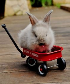 Cheeky baby bunny riding in a red wagon