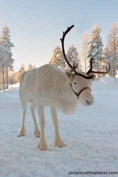 A beautiful white reindeer, chilling in the snow. Stop by the Lodi Library's Winter Wonderland to meet a live reindeer Th. Beautiful Creatures, Animals Beautiful, Animals And Pets, Cute Animals, White Reindeer, Real Reindeer, Reindeer Photo, Tier Fotos, Mundo Animal