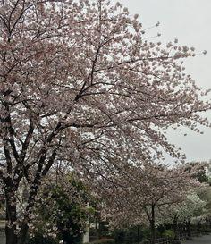 Sakura still fine today !