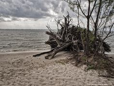 Driftwood on shores of Indian River Lagoon.