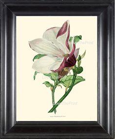 BOTANICAL PRINT Clarke 8x10 Botanical Art Print 44 by LoveThePrint