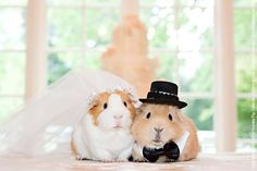 Guinea pig wedding