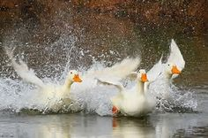 Image result for Duck Splashing