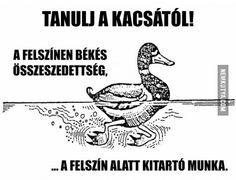 Tanulj a kacsától!