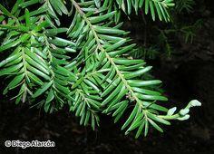 Prumnopitys andina Family: Podocarpaceae Origin: S. America  * * Chilean Yew..looks like Yew, rosemary like //paler underside
