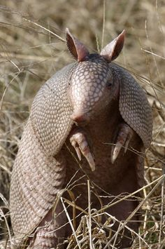 Armadillos are one of the few animals who consume fire ants as part of their diet. Such an ability can make armadillos very beneficial to humans. www.floridawildlifebusters.com