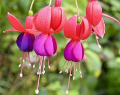 Most of the fuchsias grown as garden or house plants are hybrids (Fuchsia hybrida, hardy to U.S. Department of Agriculture plant hardiness zones 8 through 10), resulting from...