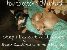 Chihuahua lover? You'll love our FB page>>> https://www.facebook.com/LoveMyChihuahuaCutie/