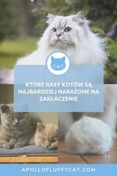 Ryzyko zakłaczenia zwiększa się w okresie zmiany futra, czyli na wiosnę i jesienią, ale które rasy kotów są najbardziej narażone? Tego dowiesz się w tym artykule. Cats, Animals, Gatos, Animales, Animaux, Animal, Cat, Animais, Kitty