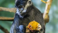 Look for a splash of color in the Helen Brach Primate House—our resident Francois' langur group has welcomed a new baby! Infants in the species have vibrant orange coats. Endangered