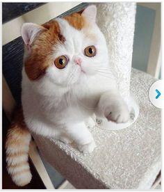 Scottish Fold Cat Shows Off Array of Tricks - PawNation