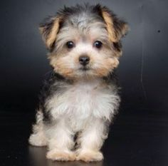 >>>Cheap Sale OFF! >>>Visit>> Morkie (Maltese and Yorkie).the froo froo names kill me. Its a mutt and thats OK. Totally cute though. Puppies And Kitties, Cute Puppies, Cute Dogs, Cute Small Dogs, Kittens, Cute Baby Animals, Animals And Pets, Animals Images, Wild Animals