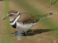 Plover Three Banded Nature Reserve, Bird Species, Bird Watching, Birds, Animals, Animales, Animaux, Bird, Animais