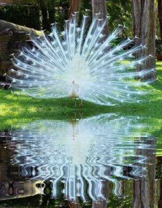 White Peacock In all his splendor..and then reflected back