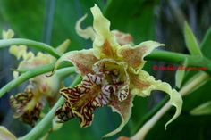 Dendrobium alexandrae Schltr. 1912