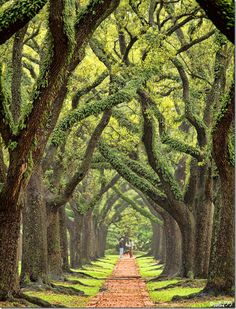 One of the prettiest streets in Houston is South Boulevard. It took 40 years for the oaks to reach this height.